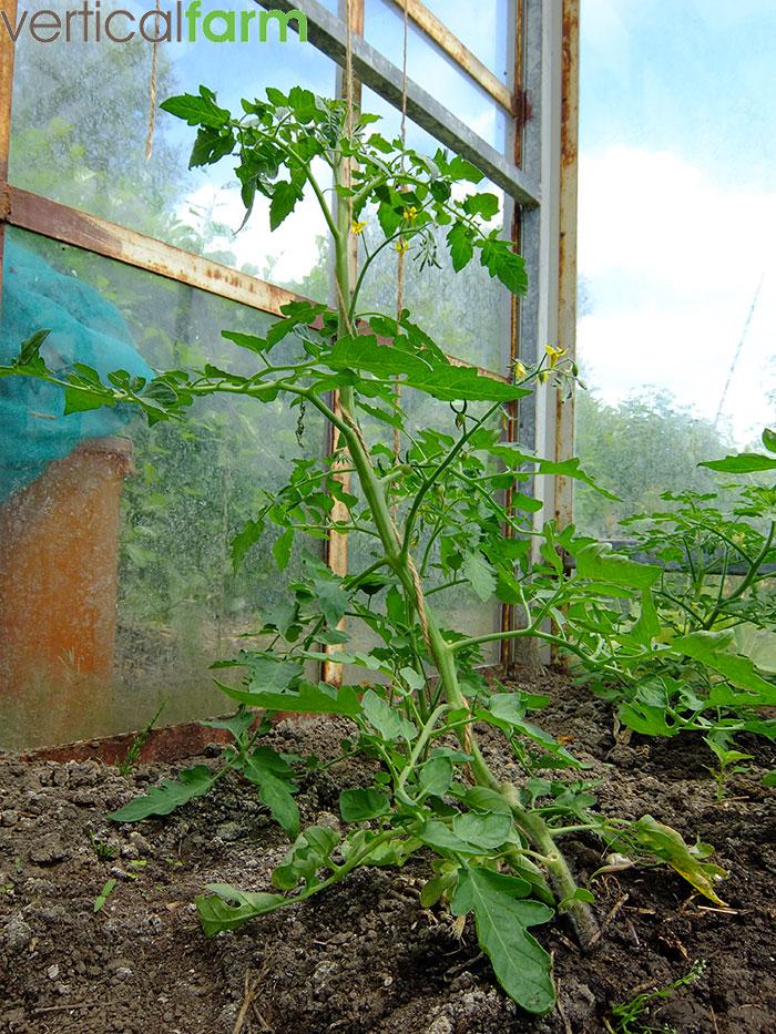 Pomodori tomaat