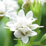 Stevia bloem